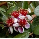 Feijoa Fidanı ( Kaymak Ağacı )
